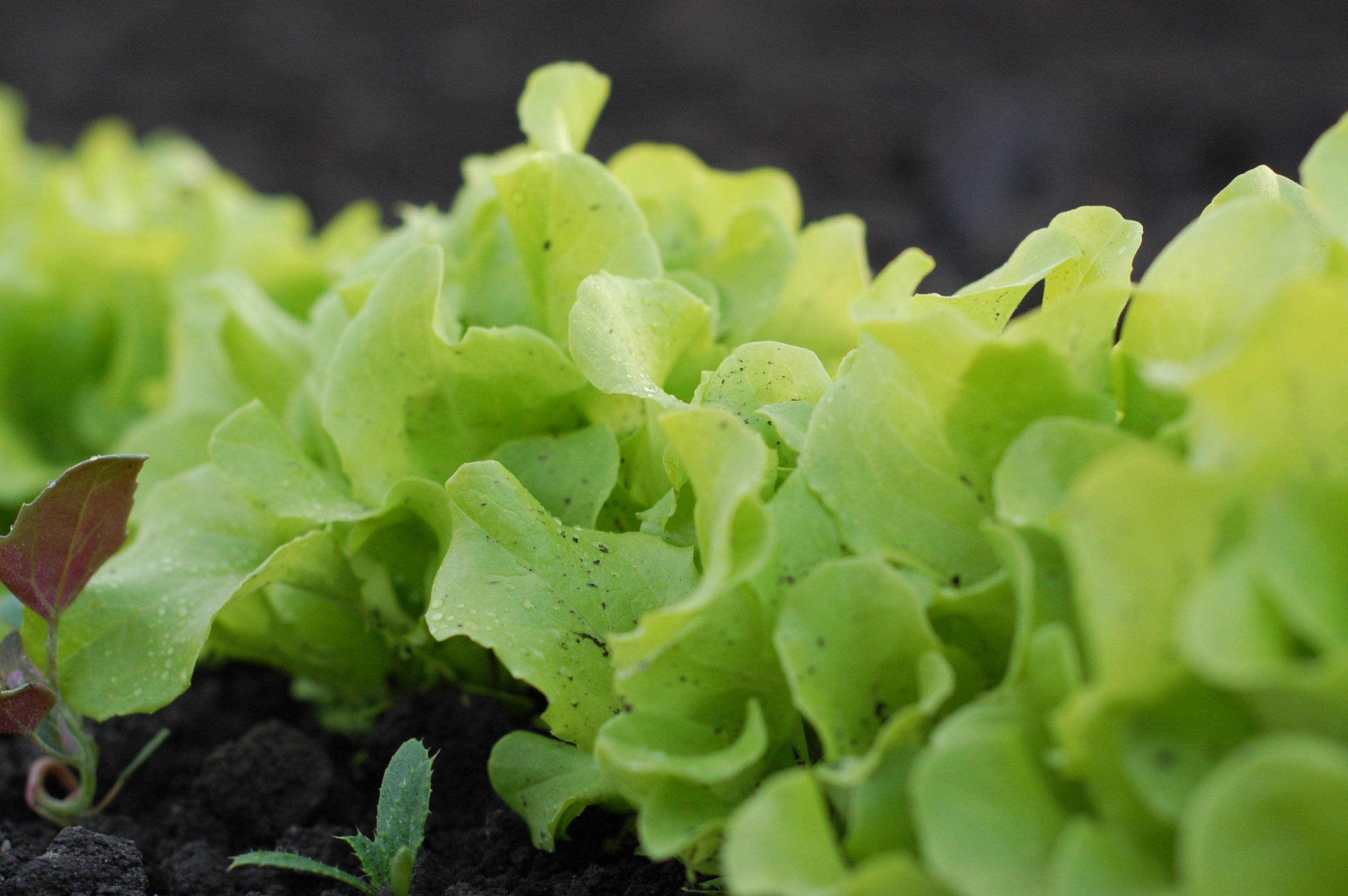 lettuce in compost dirt